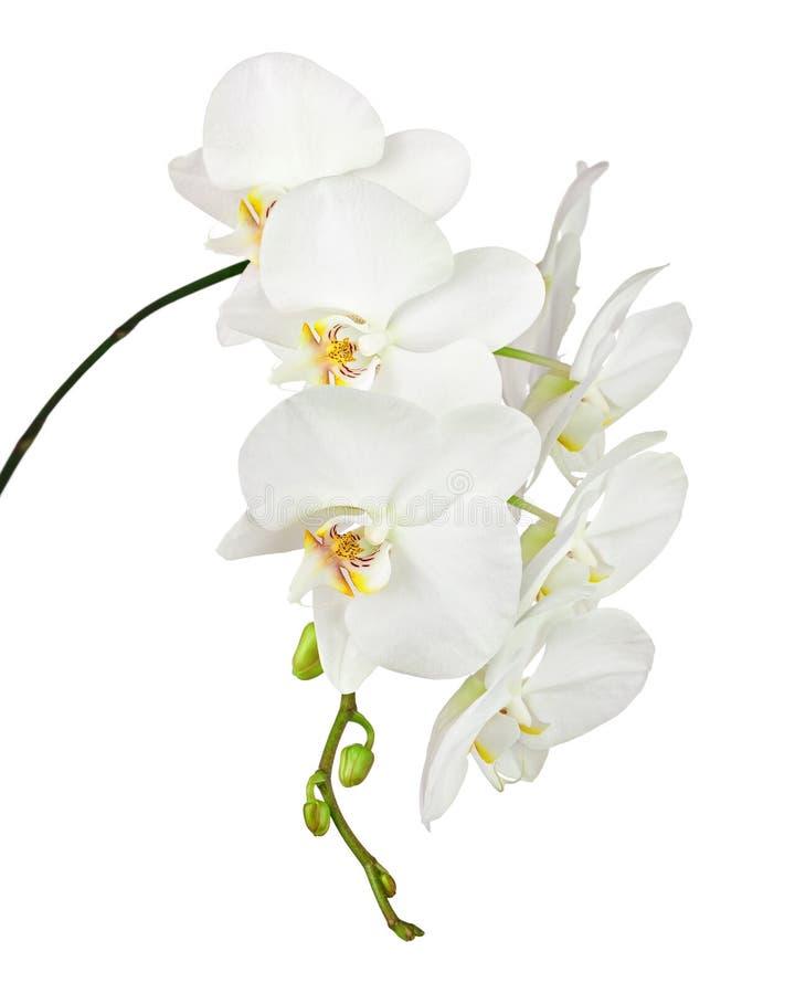 Orquídea blanca aislada en el fondo blanco foto de archivo libre de regalías
