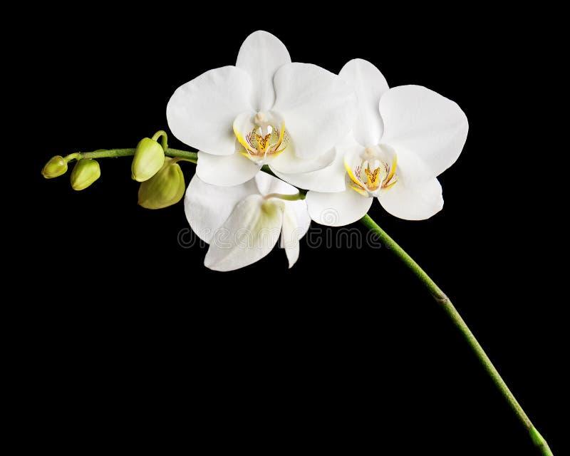 Orquídea blanca aislada en fondo negro imágenes de archivo libres de regalías