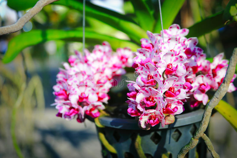 Orquídea blanca de Rhynchostylis fotos de archivo