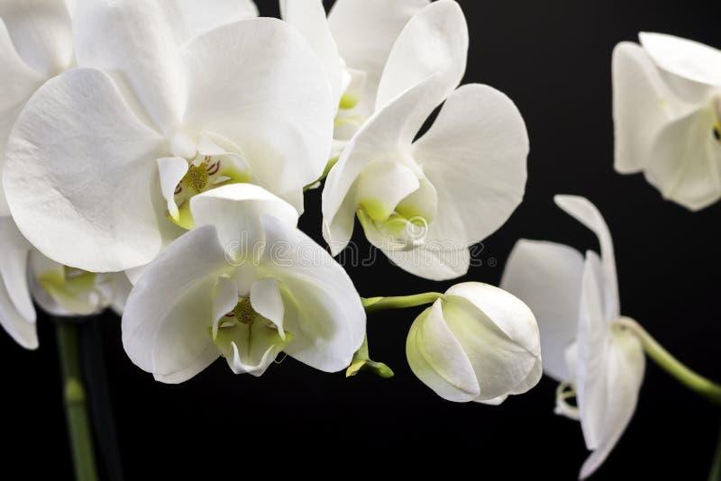 Orquídea blanca en un fondo negro imágenes de archivo libres de regalías