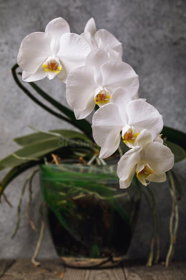 Orquídea blanca floreciente en un pote Flores interiores hermosas imágenes de archivo libres de regalías