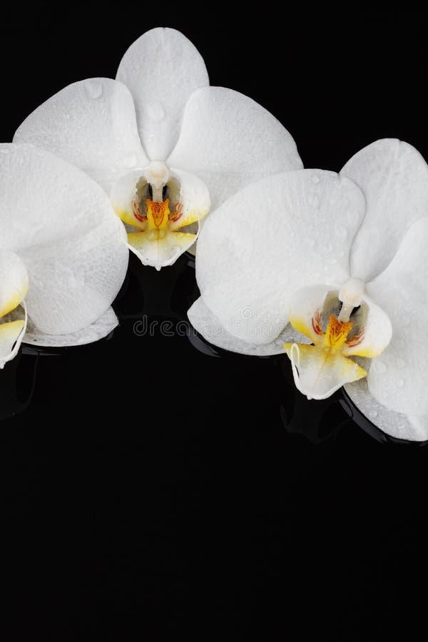 Orquídea blanca, flores del phalaenopsis imágenes de archivo libres de regalías