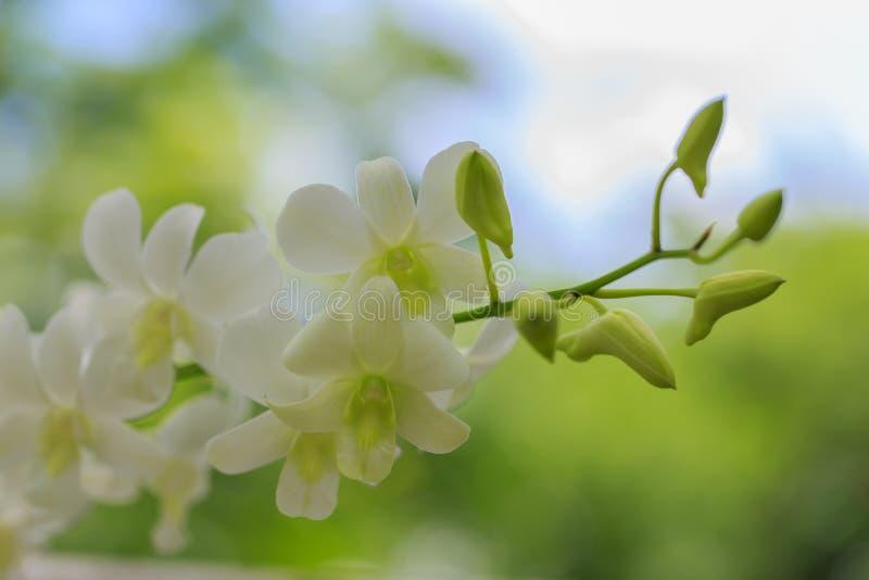 Orquídea blanca hermosa foto de archivo