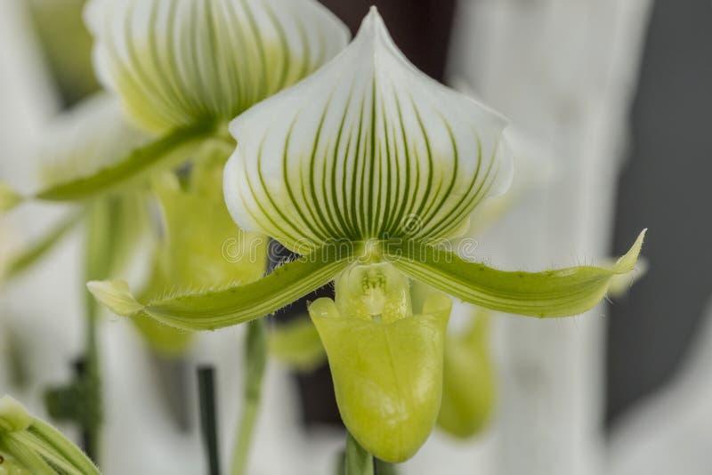 Orquídea blanca hermosa del pétalo con las Líneas Verdes y las hojas del verde imagen de archivo libre de regalías