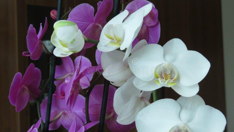 Orquídea blanca y púrpura Fondo oscuro fotografía de archivo