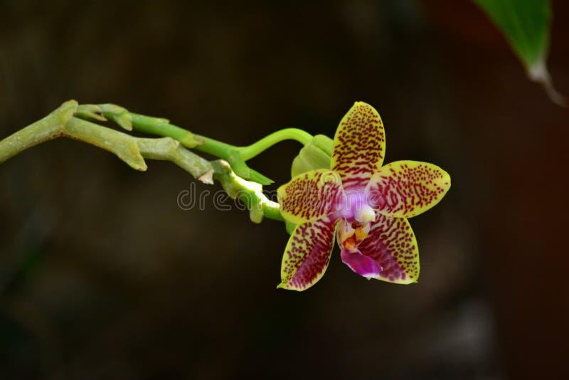 Orquídea bonita imagem de stock royalty free
