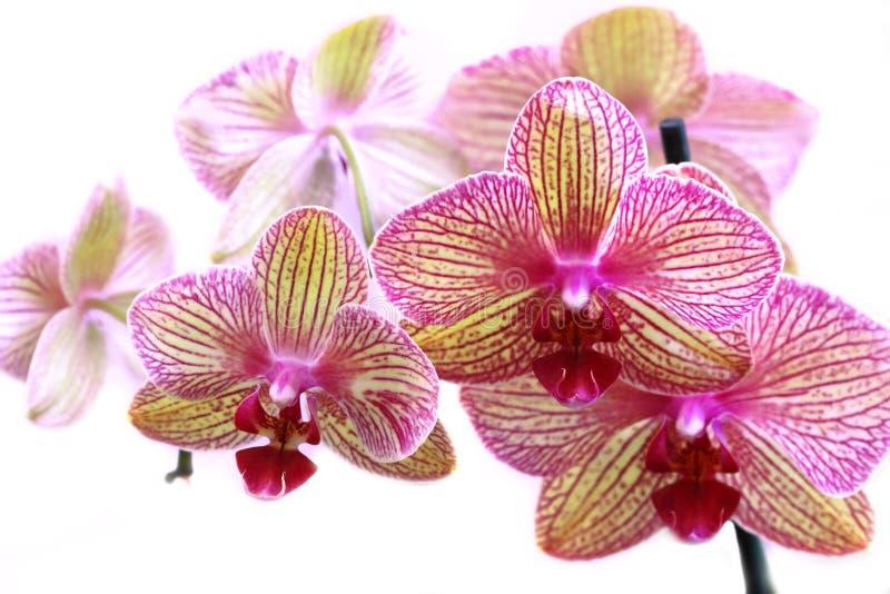 Orquídea bonita em um fundo branco foto de stock royalty free