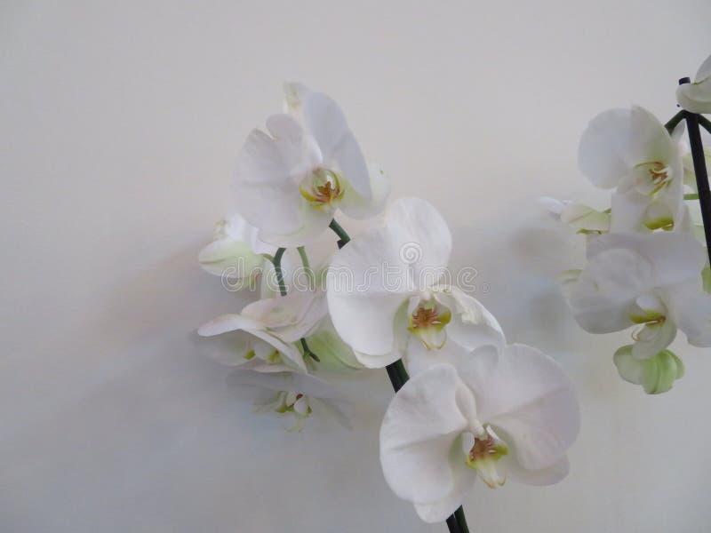 Orquídea bonita em uma cor incrível e da grande beleza fotografia de stock royalty free