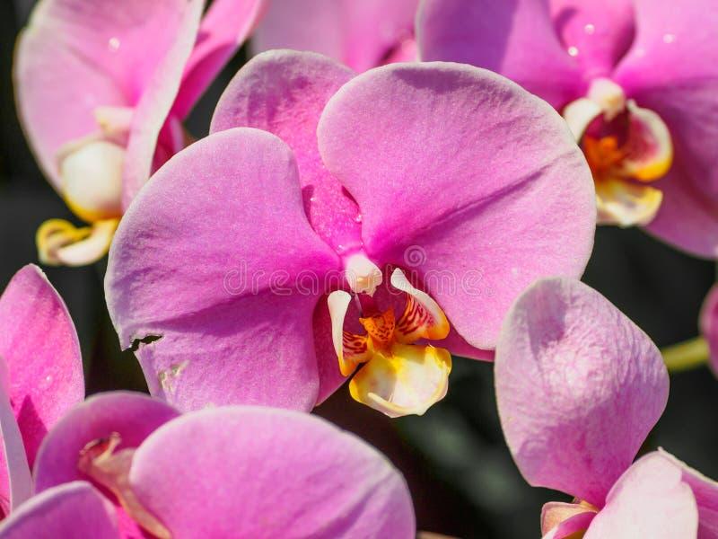 Orquídea bonita, phalaenopsis fotografia de stock