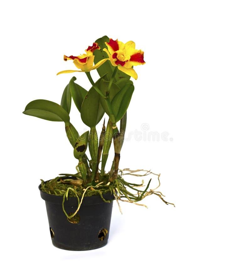 Orquídea bonita vermelha e amarela em um potenciômetro foto de stock royalty free