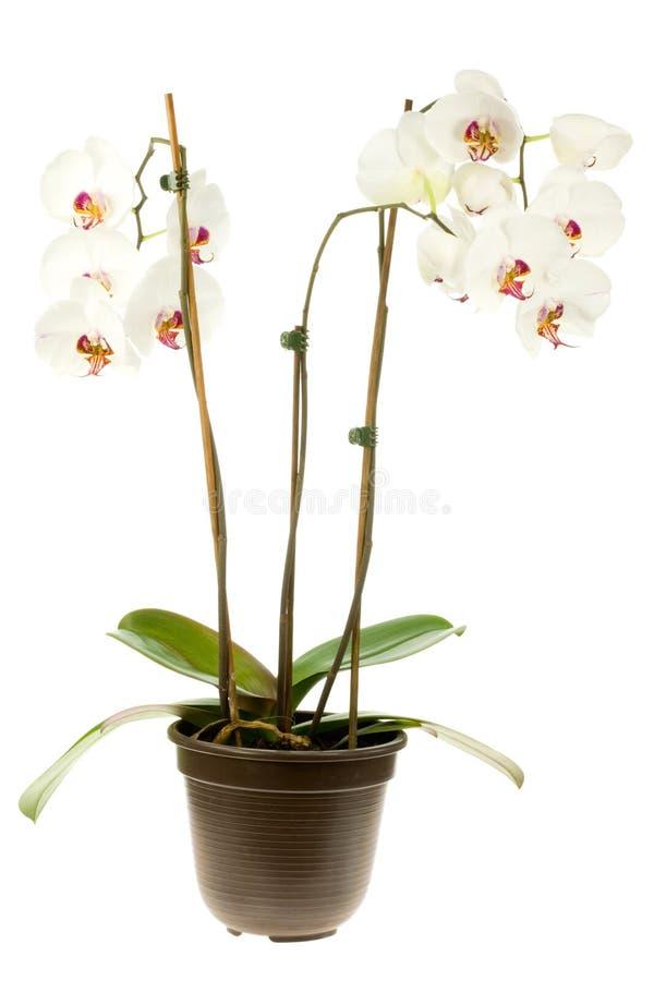 Orquídea branca. fotos de stock royalty free
