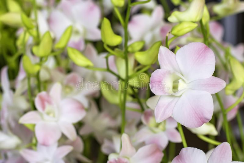 Orquídea branca bonita e folhas borradas fundo modeladas dos pontos cor-de-rosa no jardim fotos de stock royalty free