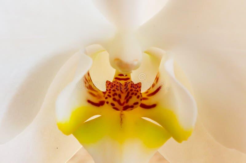 Orquídea branca brilhante na flor completa fotos de stock royalty free