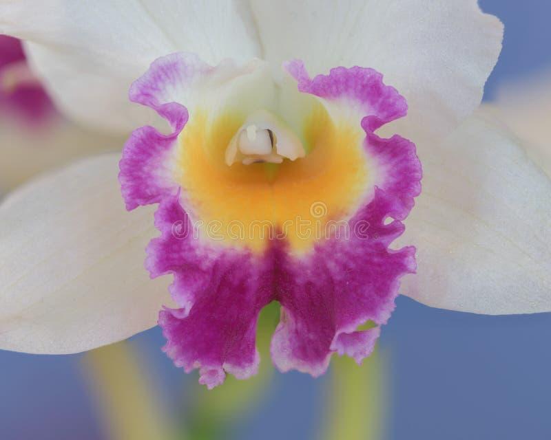 Orquídea branca com amarelo e o roxo imagens de stock royalty free