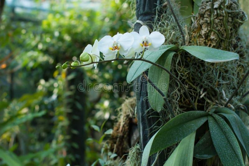 Orquídea branca delicada no jardim imagem de stock royalty free