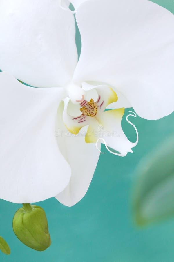Orquídea branca do aquarelle fotografia de stock royalty free