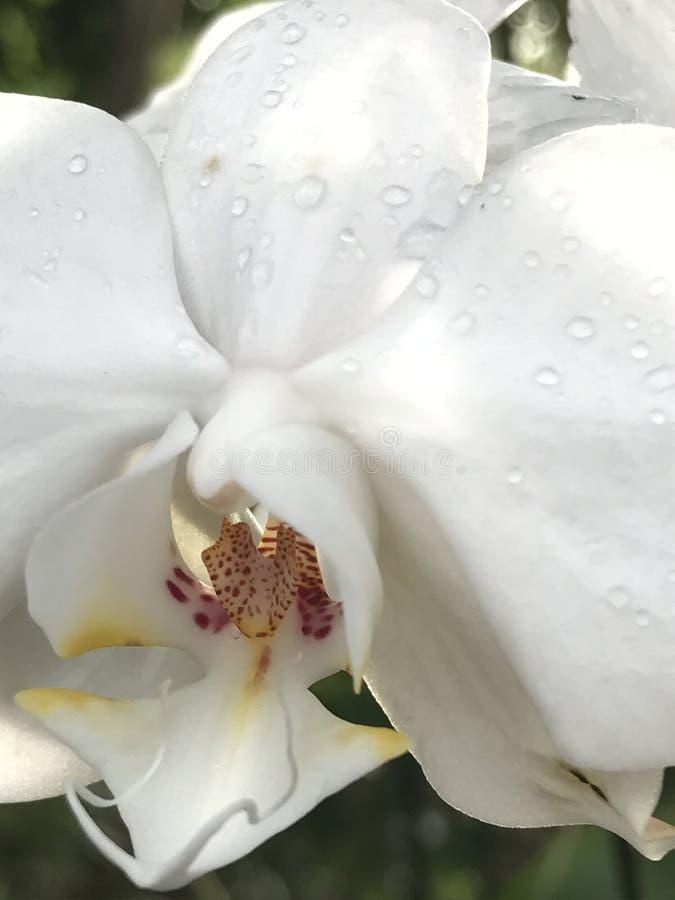 orquídea branca do phalaenopsis com bordo amarelo imagens de stock royalty free