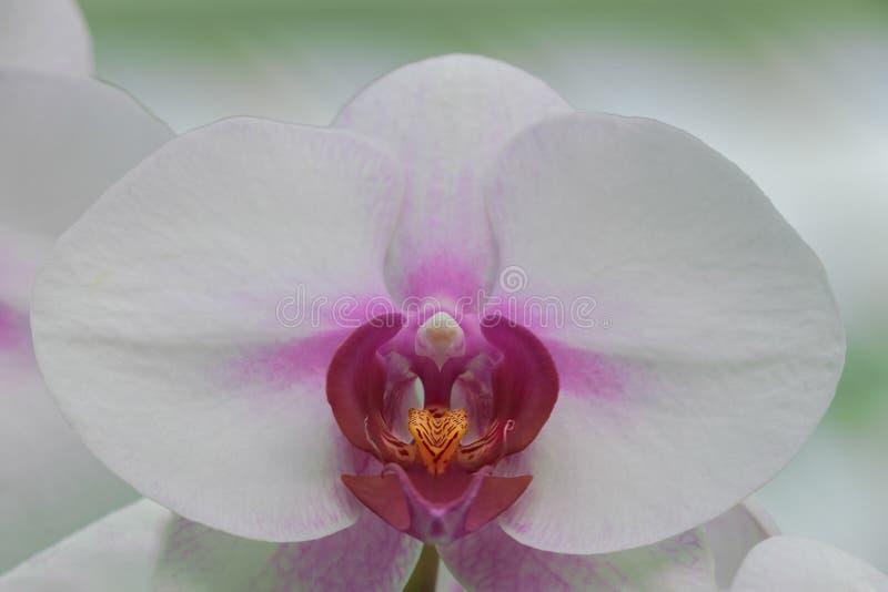 Orquídea branca e cor-de-rosa imagens de stock royalty free