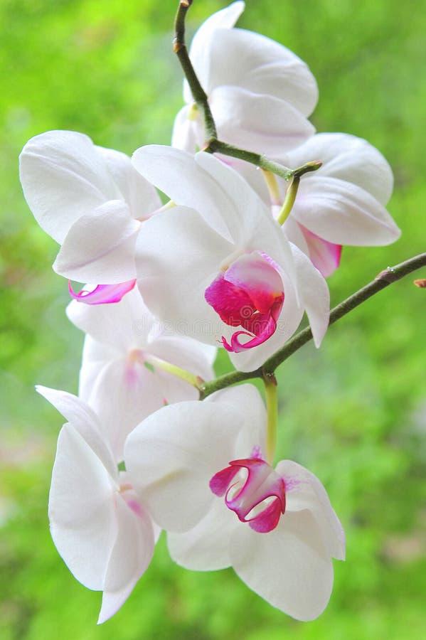 Orquídea branca e cor-de-rosa fotografia de stock royalty free