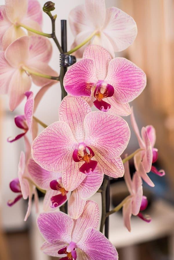 Orquídea branca e cor-de-rosa foto de stock royalty free