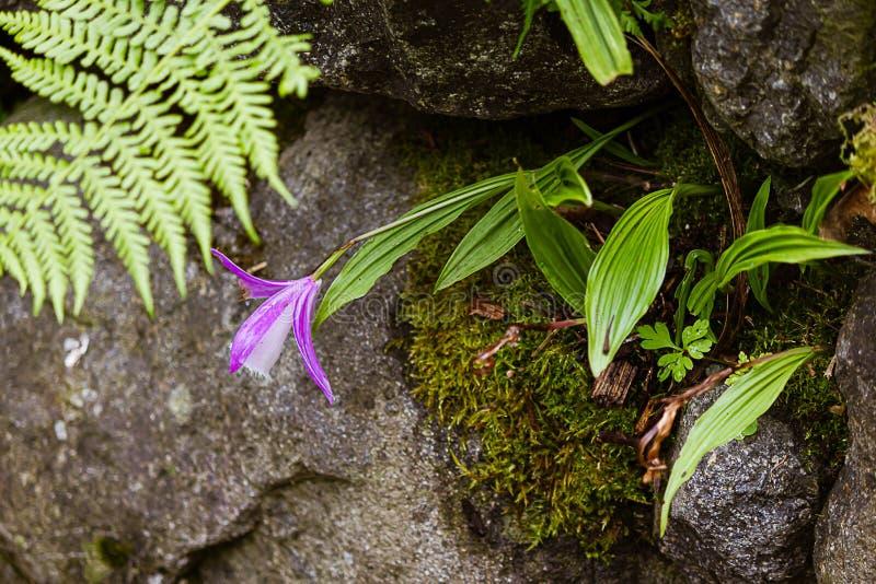 Orquídea branca e lavanda plantada em crevas de um jardim de rocha foto de stock