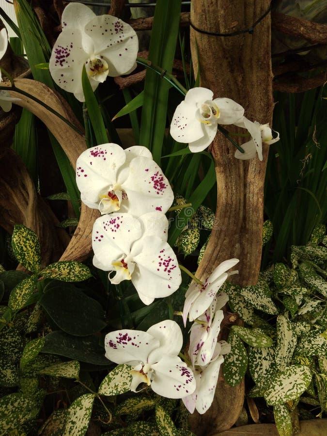 orquídea branca e roxa no jardim fotografia de stock royalty free