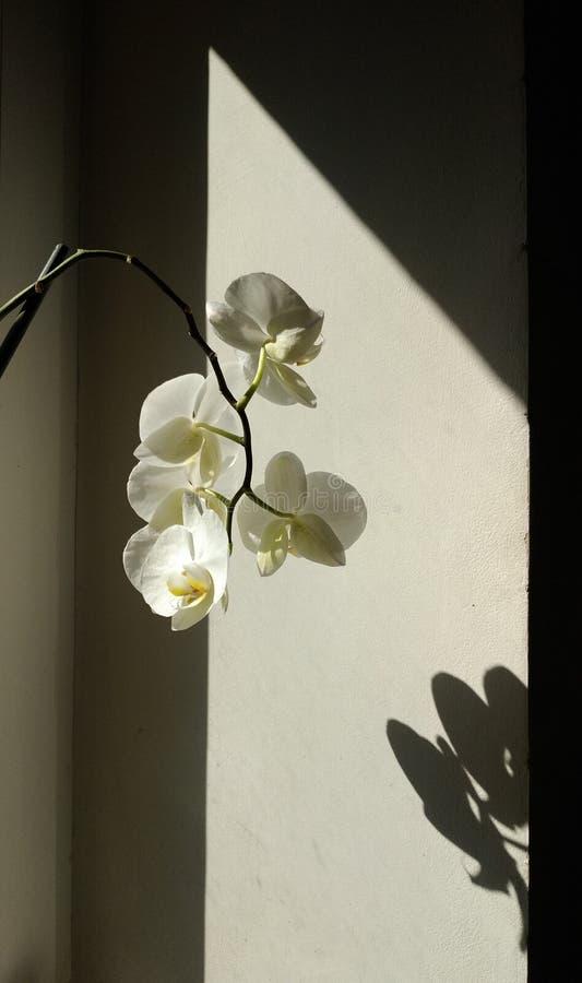 Orquídea branca em um fundo preto e branco imagens de stock