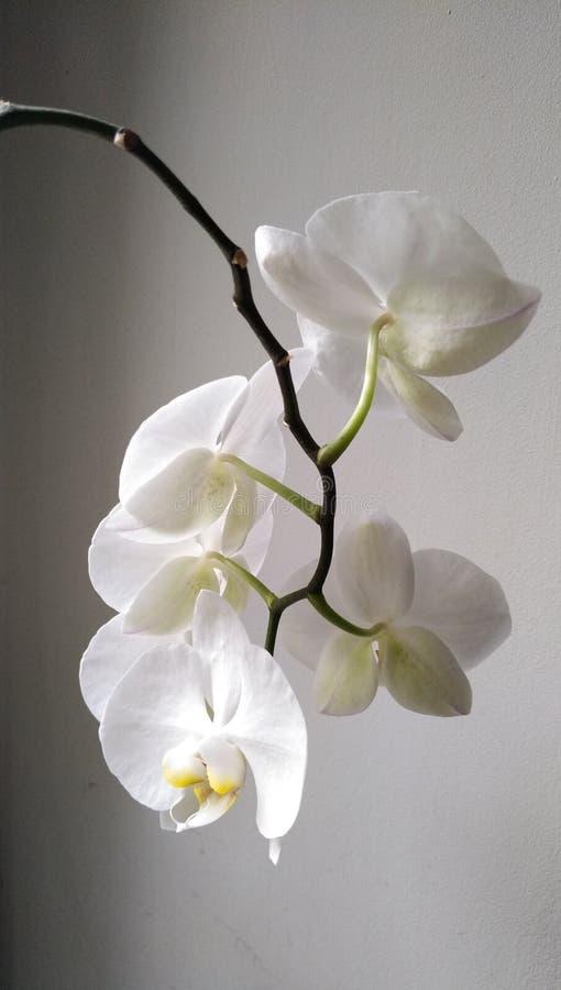 Orquídea branca em um fundo preto e branco fotografia de stock