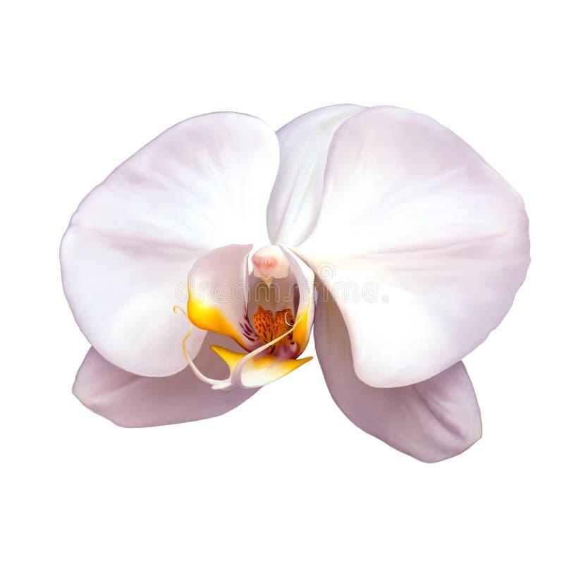 Orquídea branca isolada em um branco ilustração do vetor