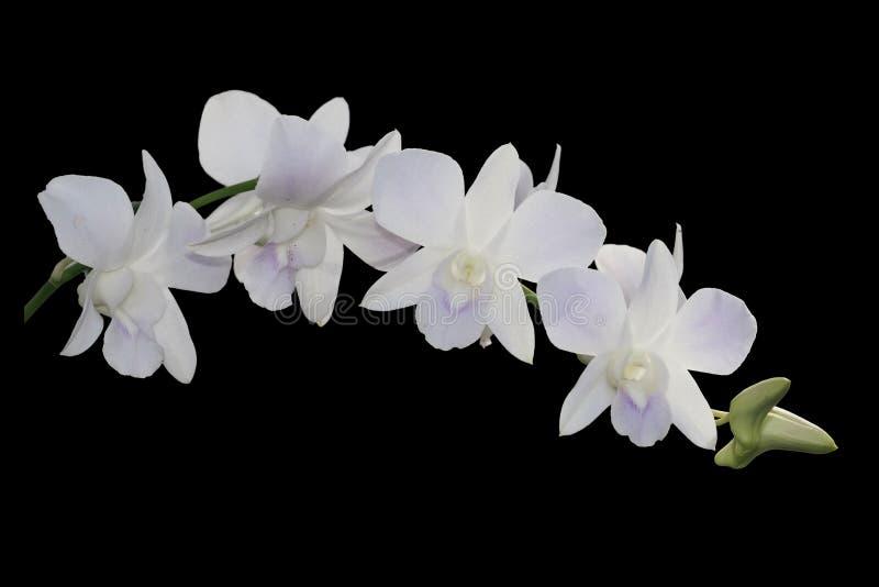 Orquídea branca isolada no fundo preto imagem de stock