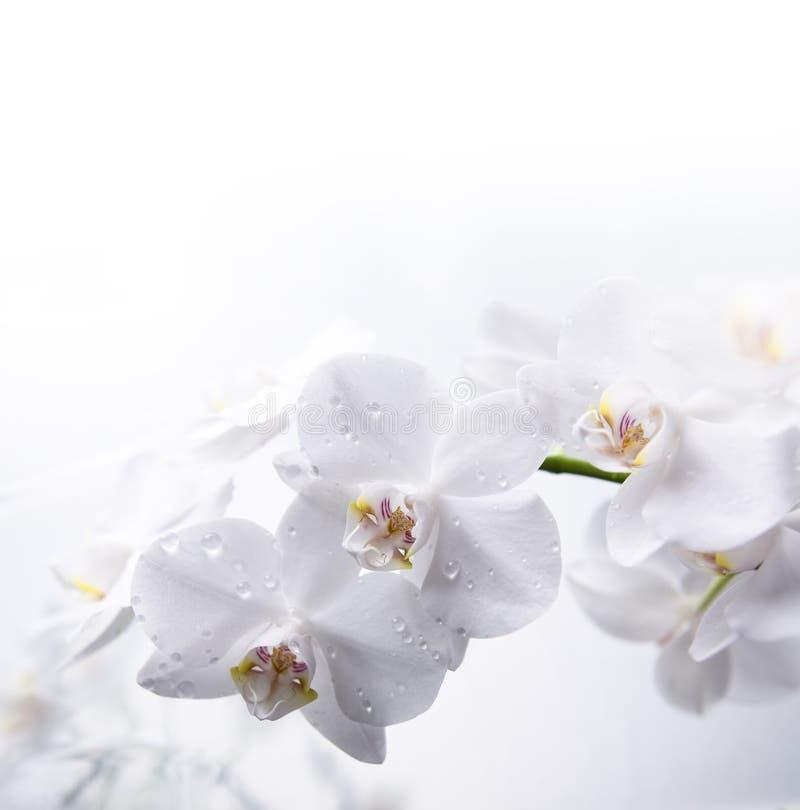 Orquídea branca na água imagens de stock royalty free