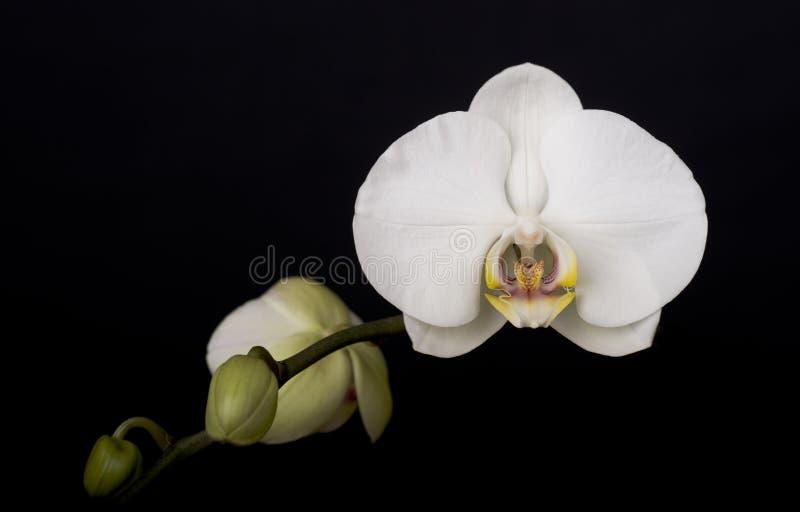 Orquídea branca no fundo preto fotografia de stock royalty free
