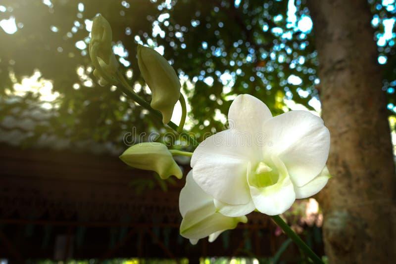 Orquídea branca no jardim foto de stock
