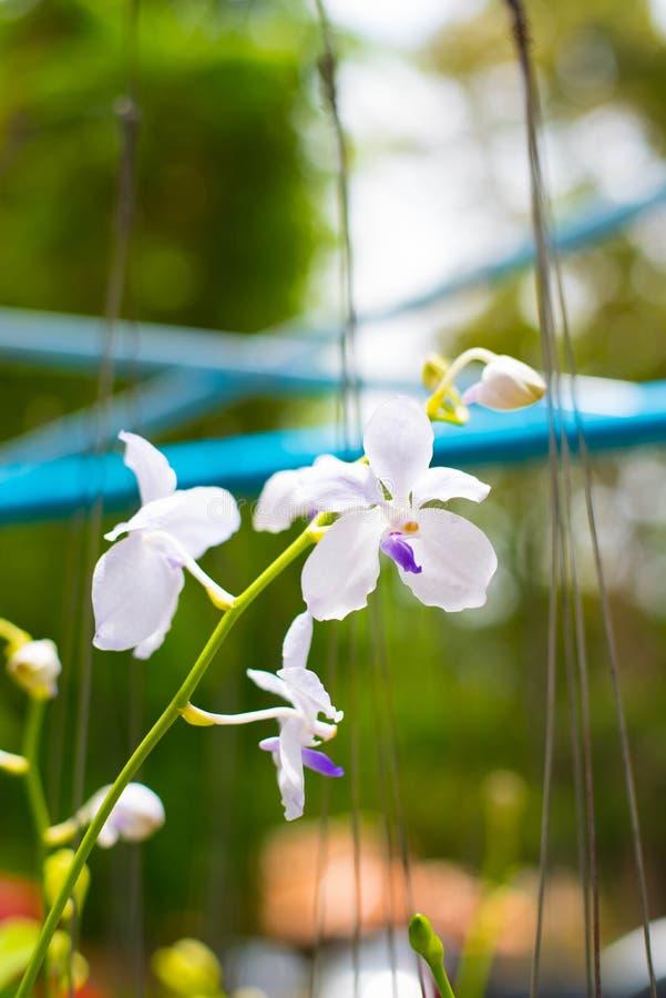 Orquídea branca no jardim fotos de stock royalty free