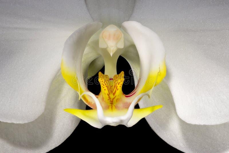 Orquídea branca, vista macro detalhada fotografia de stock royalty free