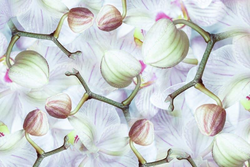 orquídea Branco-verde-cor-de-rosa-vermelha dos botões Fundo de orquídeas das flores Composição da flor uma colagem de flores raja imagem de stock