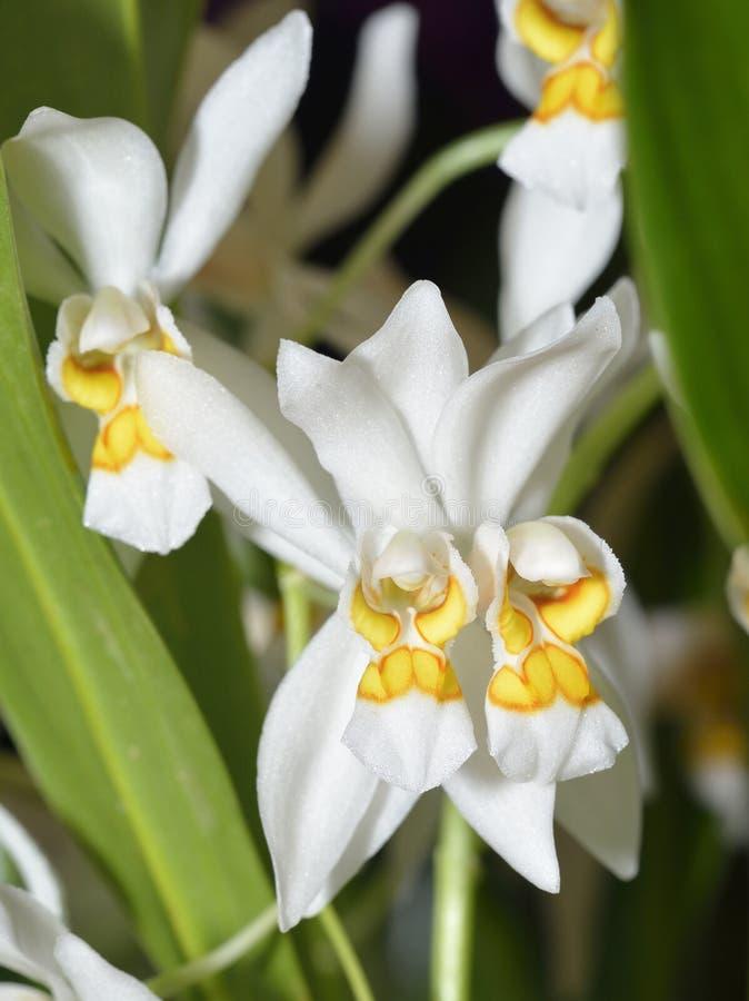 Orquídea brillante de Coelogyne imagen de archivo libre de regalías
