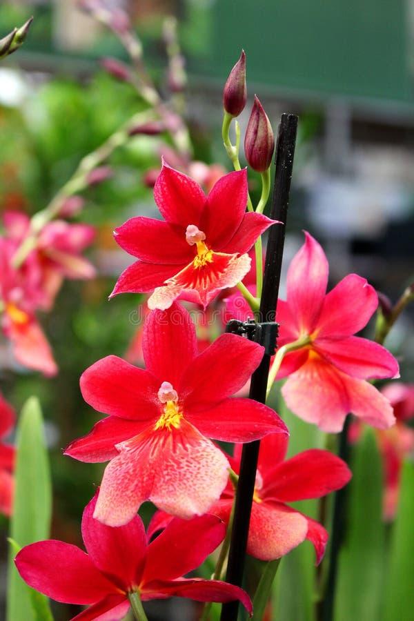 Orquídea com flores vermelhas - planta decorativa favorita imagens de stock royalty free