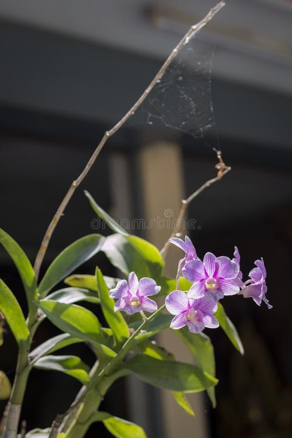 Orquídea com Web de aranha imagens de stock