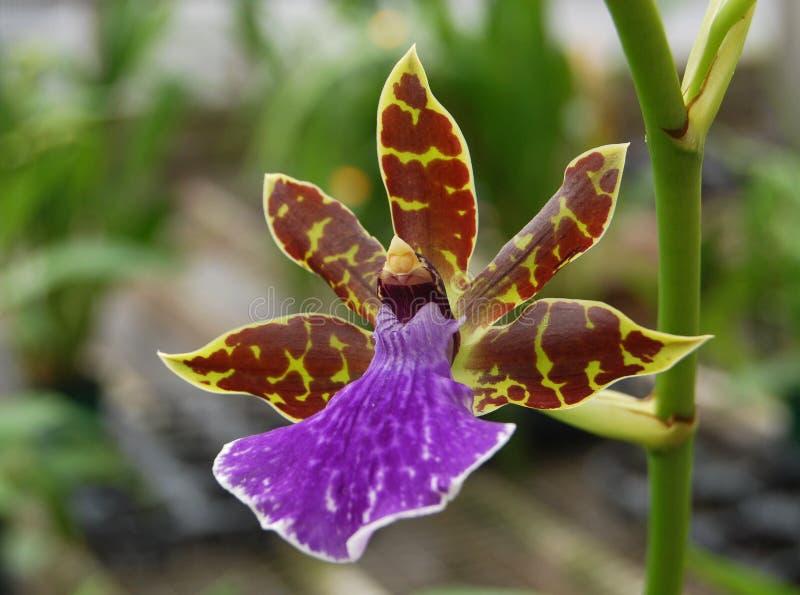 Orquídea con lavanda imágenes de archivo libres de regalías