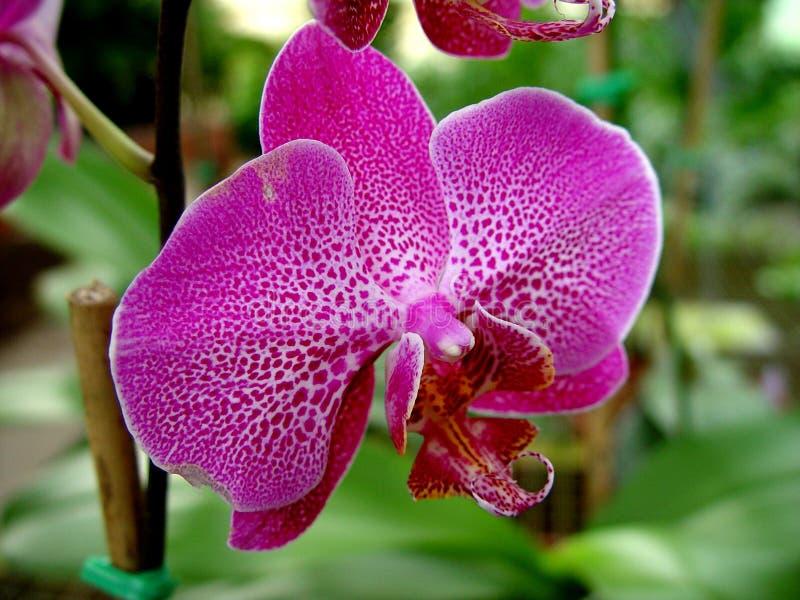 Download Orquídea cor-de-rosa foto de stock. Imagem de verde, jardim - 68796