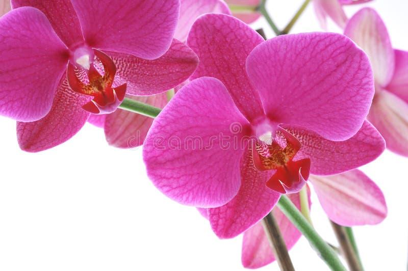 Orquídea cor-de-rosa foto de stock royalty free