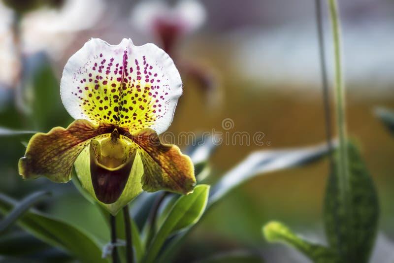 Orquídea cor-de-rosa branca do Paphiopedilum do close up no jardim imagens de stock