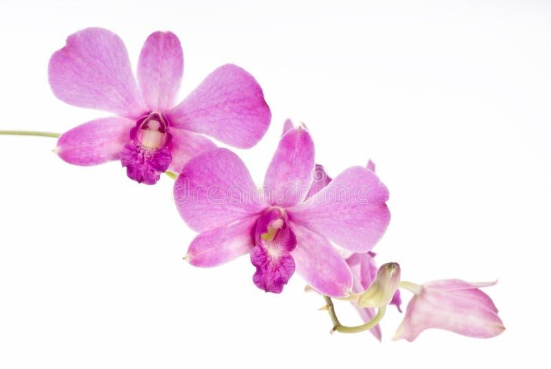 Orquídea cor-de-rosa bunchy fotografia de stock royalty free