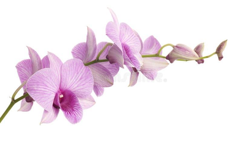 Orquídea cor-de-rosa do dendrobium isolada no branco imagem de stock royalty free
