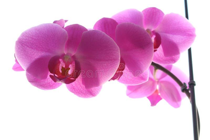 Orquídea cor-de-rosa em um fundo claro foto de stock royalty free