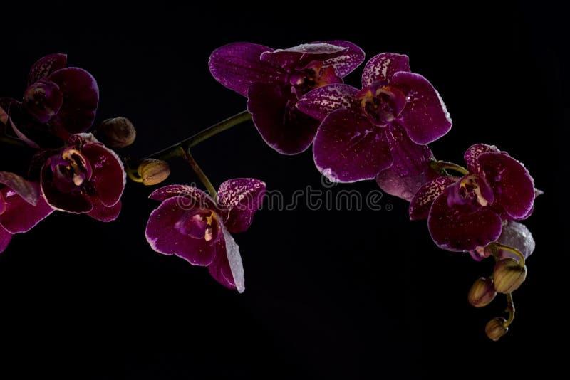 Orquídea cor-de-rosa em um fundo preto fotos de stock royalty free