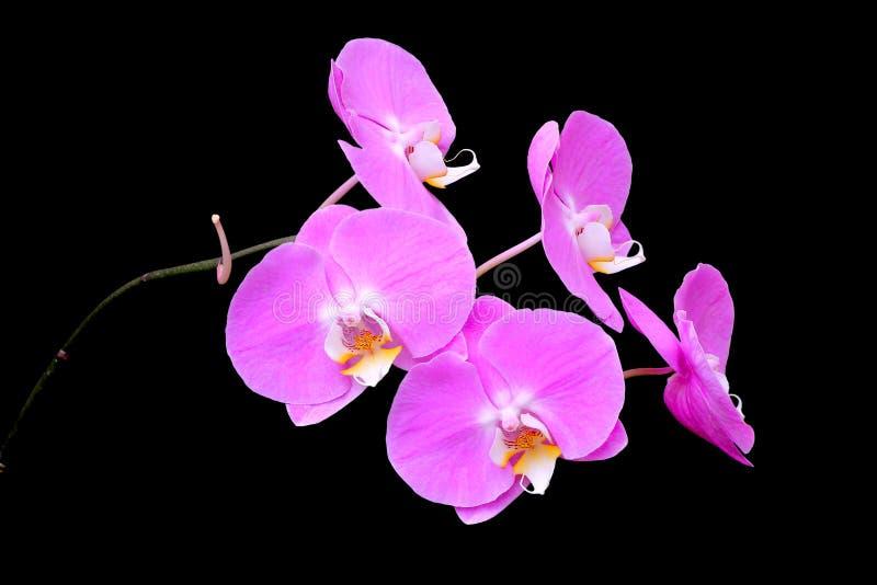 Orquídea cor-de-rosa isolada no preto foto de stock royalty free