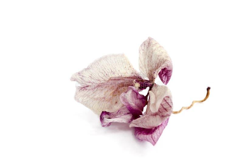 Orquídea cor-de-rosa murcho fotografia de stock