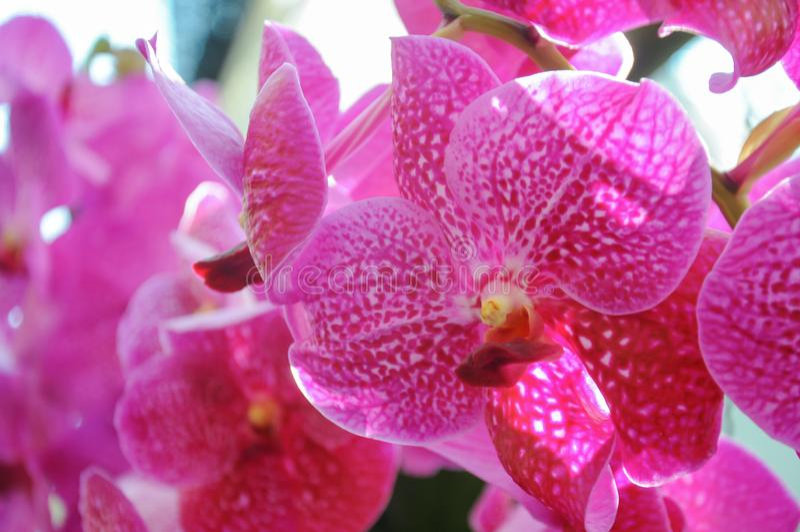 Orquídea cor-de-rosa na flor no festival 2019 da flor de Chiangmai, Tailândia imagens de stock royalty free